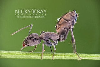 Ant (Camponotus sp.) - DSC_4052