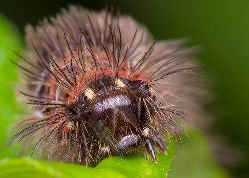 macro nature animal closeup fauna bugs caterpillar macrophoto ulatbulu diyflashdiffuser beluncas smcpentaxdfamacro100mmf28wr hishammarmincom hishammarmin af160fcautomacroringflash pentaxk5iis k5iis