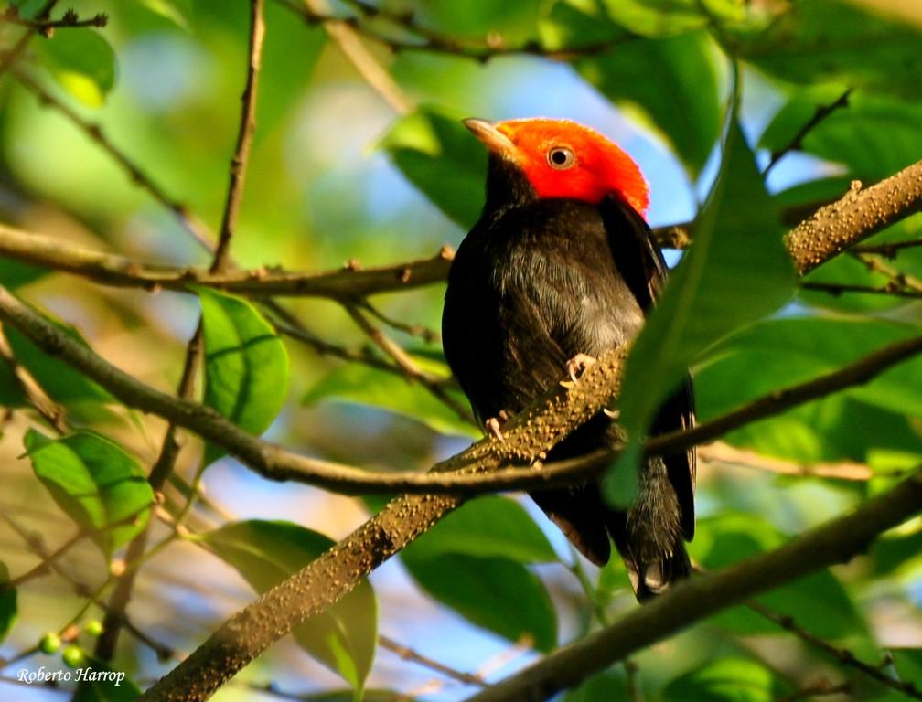 Dançarino-de-cabeça-vermelha ou Uirapuru-de-cabeça-vermelha (Pipra rubrocapilla) - Red-headed Manakin