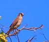 American Kestrel-Cernícalo Americano (falco sparverius) by MontielRivera