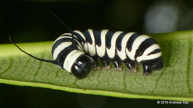 Tropical milkweed butterfly larva, Lycorea halia