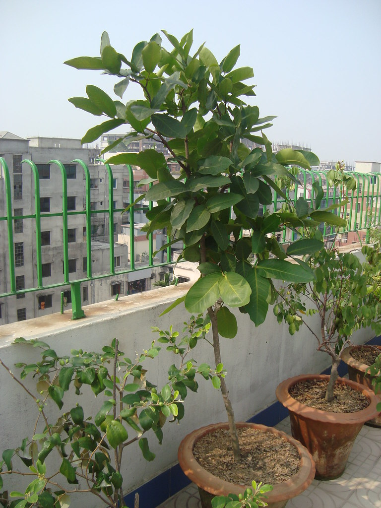 Wax apple Tree, Syzygium samarangense , (Jamrul
