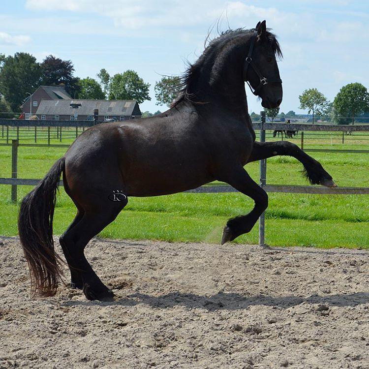 MAURITS  Friesian stallion for sale @stoeterijkoningsland … | Flickr