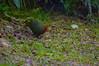 Crimson-headed Partridge 2 by 9dr7