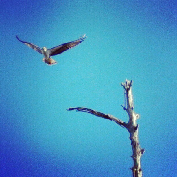 Osprey #instanaturelover #birdsofprey #Floridana #Florida #osprey #instaphotog #instagram_Florida #instaflorida #htcevo4glte