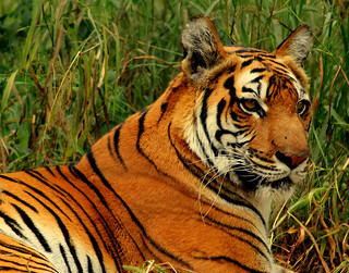 Royal Bengal Tiger | by Arsh_86