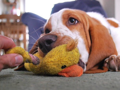 bailey not wanting to give up his duck