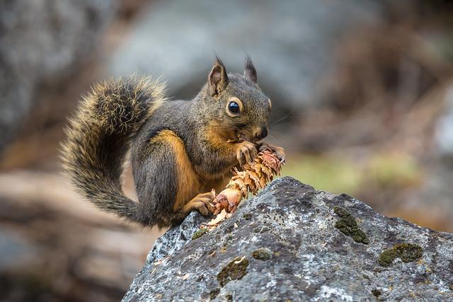 Douglas Squirrel Feeding on Douglas Fir Cone