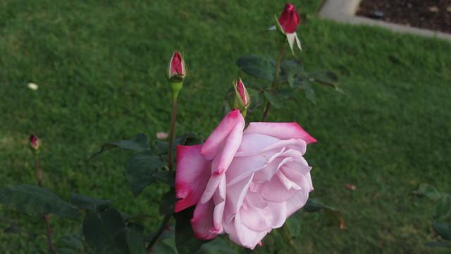 IMG_3362 Paradise rose spray