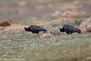 Bald Ibis (Geronticus calvus), Sani Pass, LS, 2012-12-06--25.jpg by maholyoak