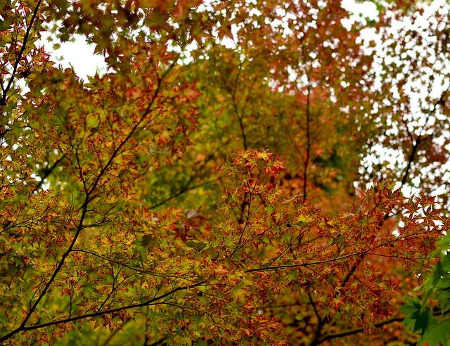 Autumnal Japanese maple leaves, Kyoto