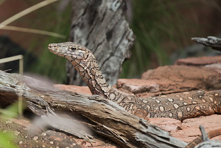Perentie at Perth Zoo | by Tom De Mulder