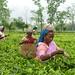 Cueillette en Assam