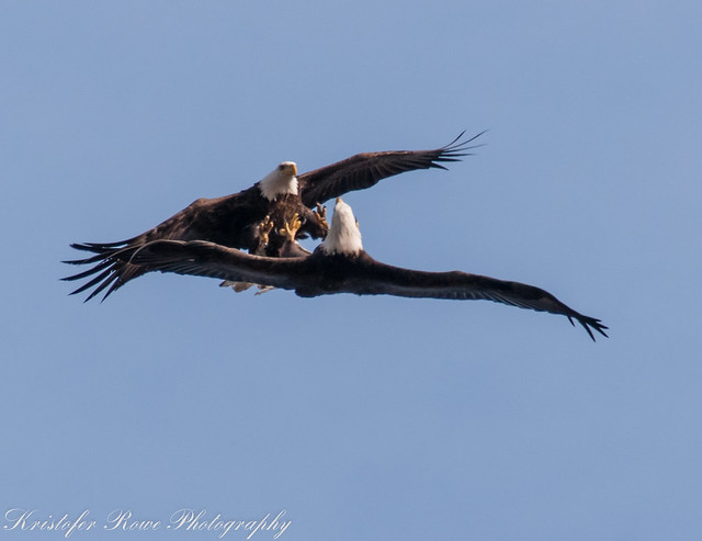 Eagles mating!