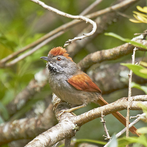 petrim (Synallaxis frontalis)  Sooty-fronted Spinetail | by claudio.marcio2
