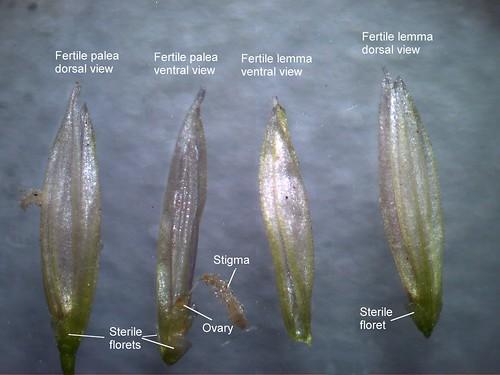 native grass poaceae potamophila parviflora australian wild rice taxonomy:binomial=potamophilaparviflora