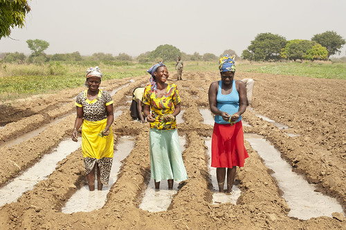 Women transplanting tomatoes at a farm located in the Upper East Region in Navrongo, Ghana.