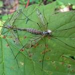Schnaken (Cranefly, Tipula sp.), Paarung