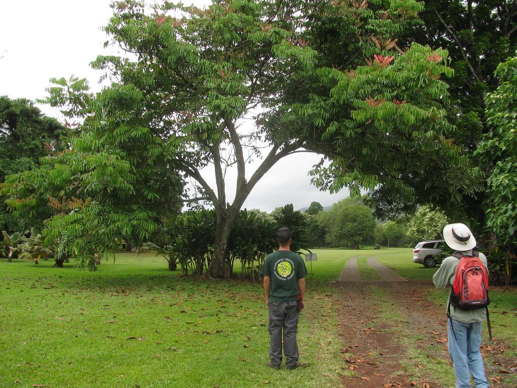 starr-120606-9531-Carapa_guianensis-habit_with_Ian_and_Forest-Kahanu_Gardens_Hana-Maui
