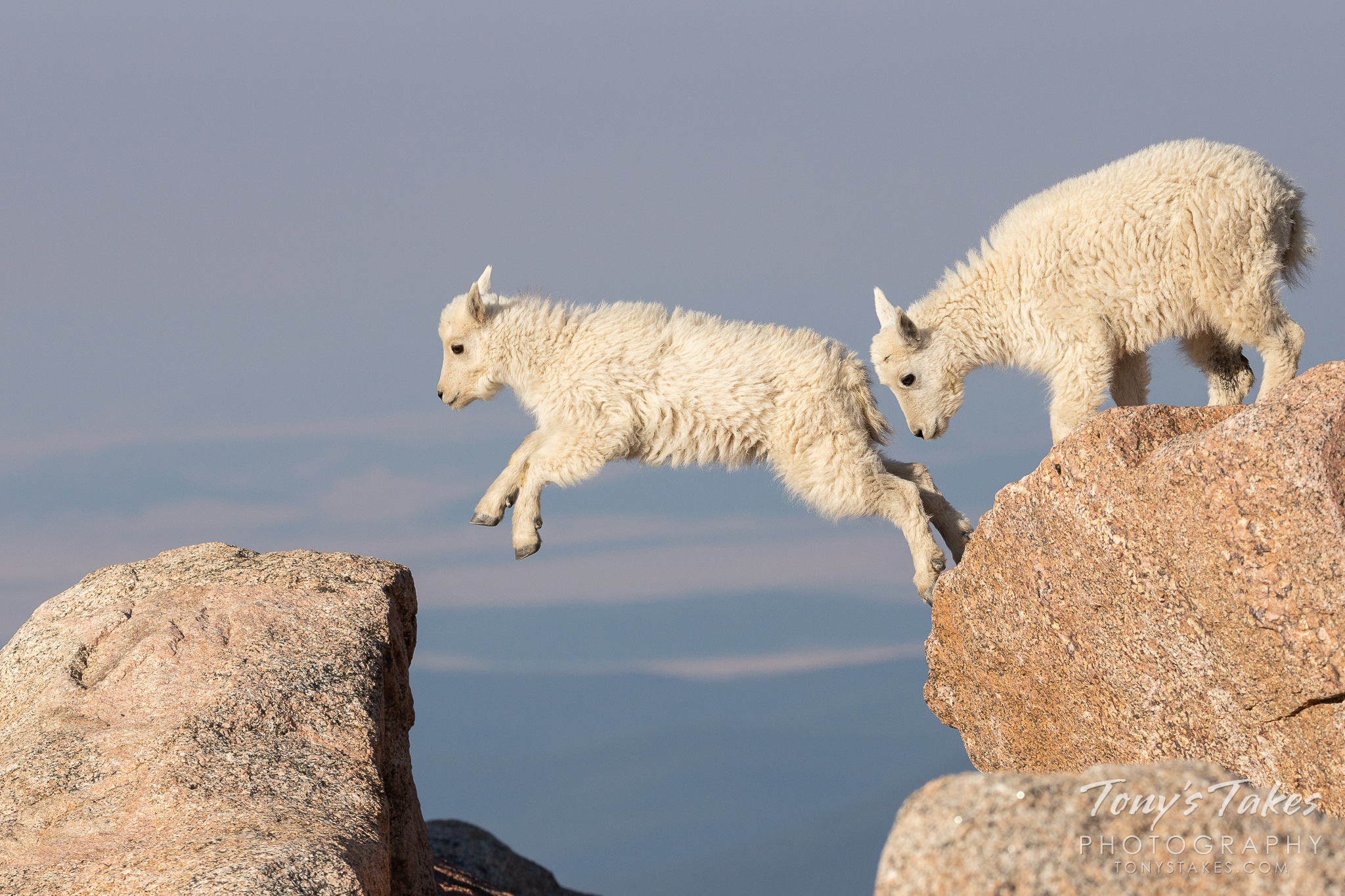 A mountain goat kid leaps between boulders on Mount Evans in Colorado. (© Tony's Takes)