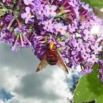 Hornissenschwebfliege (Volucella zonaria) auf Schmetterlingsflieder (Buddleja davidii) auf dem Tippelsberg