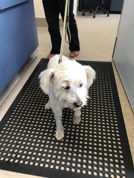 FOUND: white neutered male dog found on meadow ridge lane