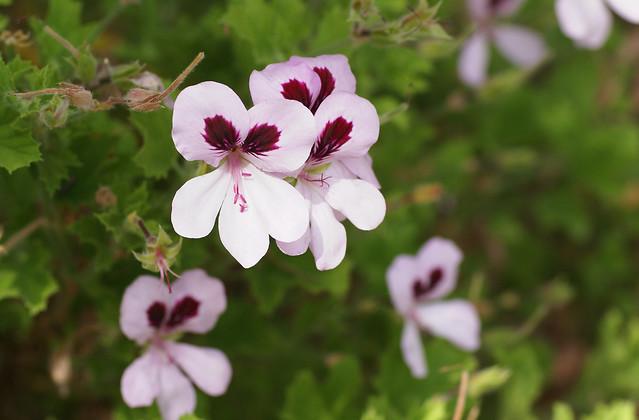 Pelargonie, Duft- / citrosa geranium (pelargonium citronella)
