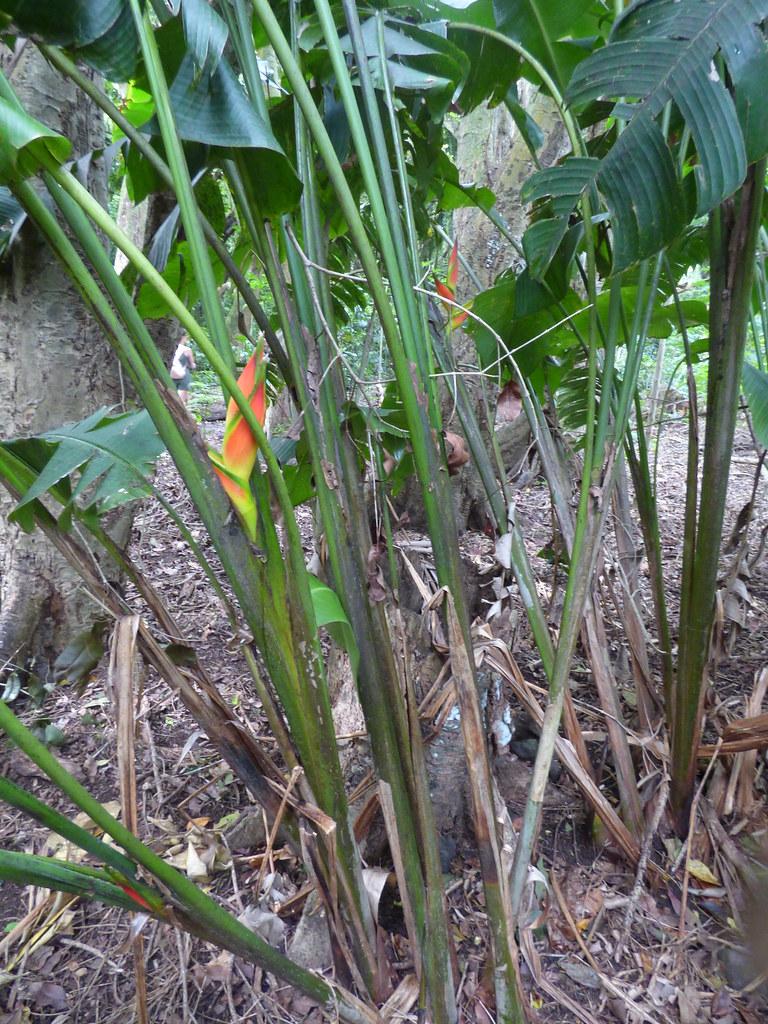 starr-180421-0875-Heliconia_bihai-flowering_habit-Honolua_Lipoa_Point-Maui