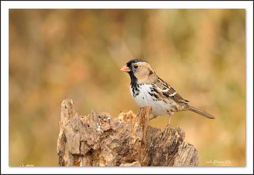 harris's sparrow | by lindapp57