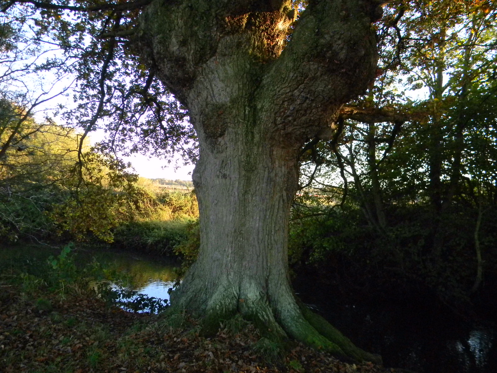 Tree by the Blackwater Crowthorne to Sandhurst (avoiding Eversley)