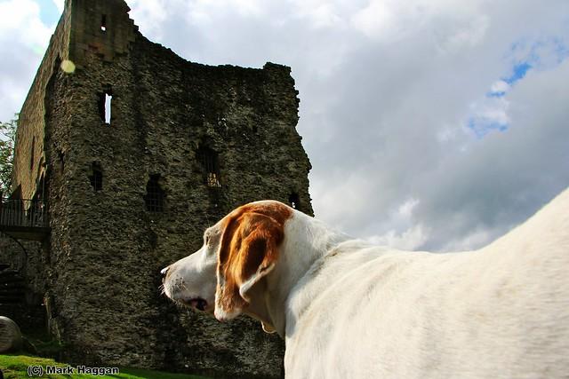 Berta the Harrier Hound surveys Peveril Castle