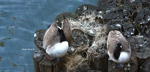 إوزات ..Goose couples