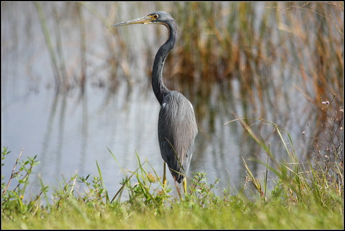 TRICOLORED HERON | by cuatrok77