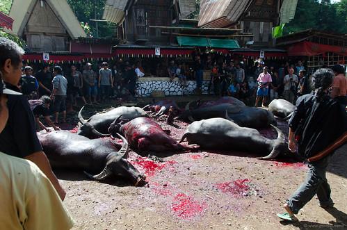 Toraja buffalo sacrifice - Toraja ritual | by Jerome Nicolas