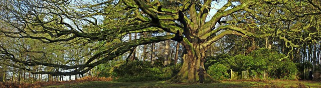 The Oak of Ages