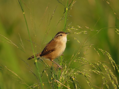 marshwren cistothoruspalustris