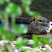 Flickr photo 'Nutria (Myocastor coypus)' by: Bernard DUPONT.