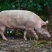Cerdo Doméstico - Photo (c) Mark Yokoyama, algunos derechos reservados (CC BY-NC-ND)