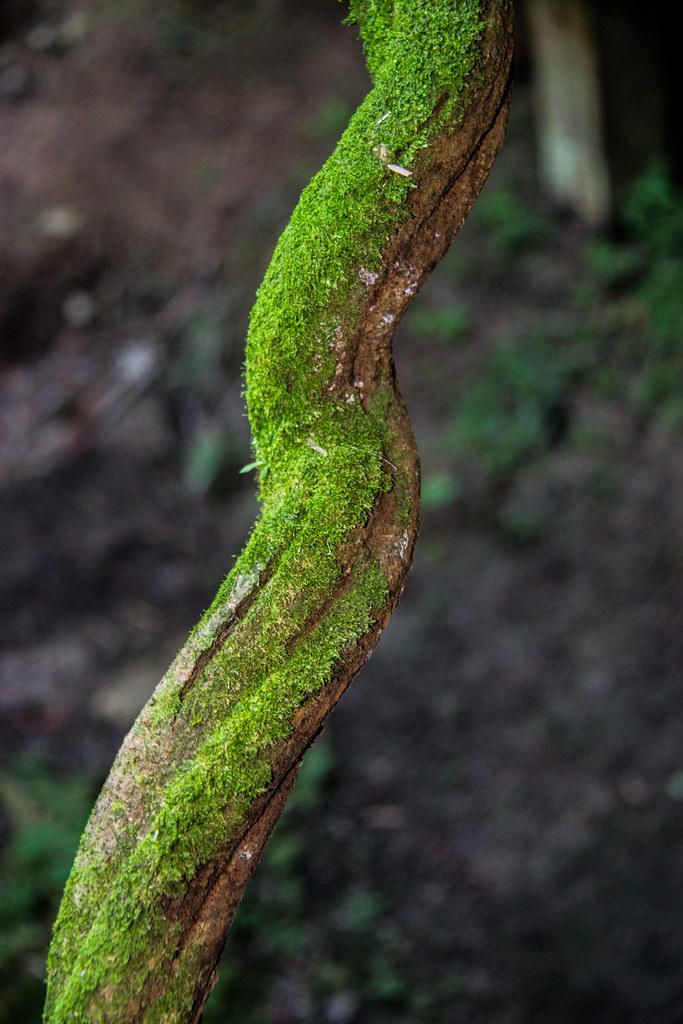Ayahuasca Vine_24 | Apollo | Flickr