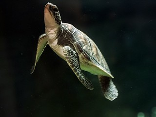 .endangered sea turtle #tadaa, #psxpress #mextures www.nestonline.org