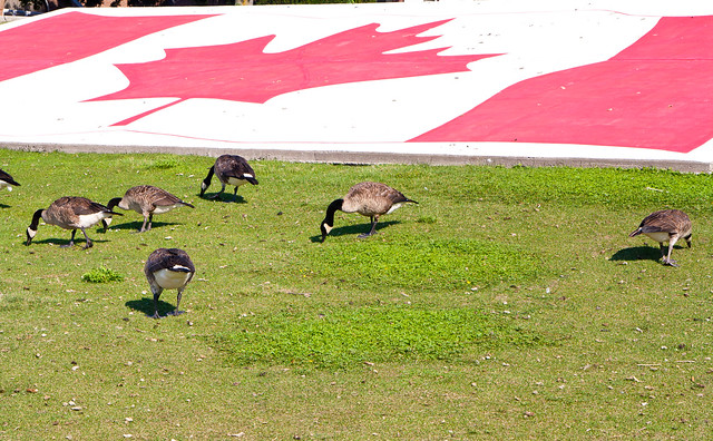 Canadian Flag and Canada Geese.  Can't get more Canadian than that, eh?