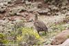 Gray-winged Francolin (Francolinus africanus), Sani Pass, LS, 2012-12-06--15.jpg by maholyoak