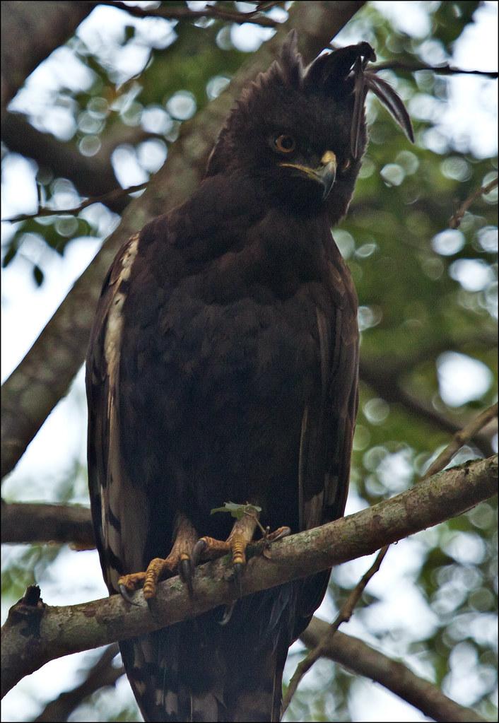 Crested Eagle - Morphnus guianensis