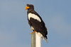 steller's sea eagle by Wildlife photos by Paul Donald