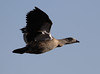 Blue-winged Goose in flight by Wild Chroma