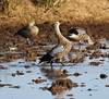 Blue-winged Geese by Wild Chroma