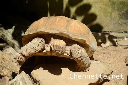African Spurred Tortoise | by Chennette