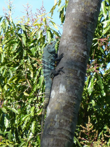 Refugio Biologica de Vida Silvestre Curu - iguana