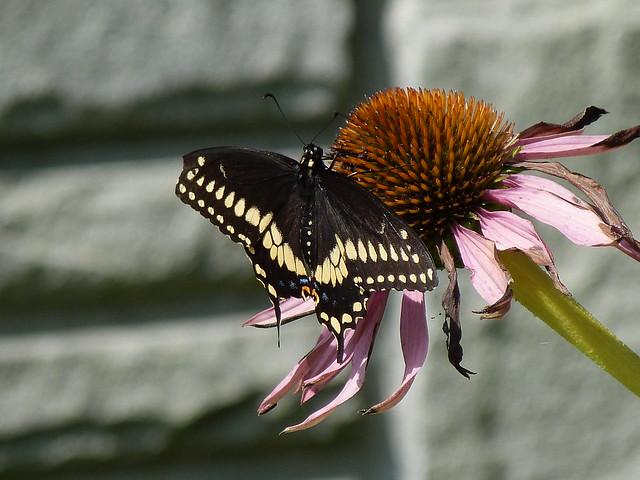 P1040716  BLACK SWALLOWTAIL--male ON PURPLE CONEFLOWER