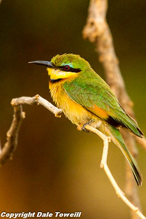 Little Bee-eater | by PhotoGuy1951